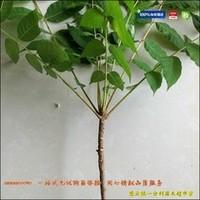 重庆香椿苗