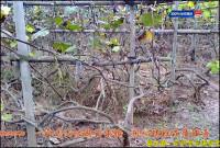 批发出售重庆巨峰葡萄苗