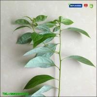 批发出售重庆香樟苗,大叶小叶均有