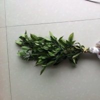 黄栀子苗优质低价挂果早